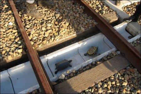 Авто-факт: в Японии существует дорожный тоннель для черепах